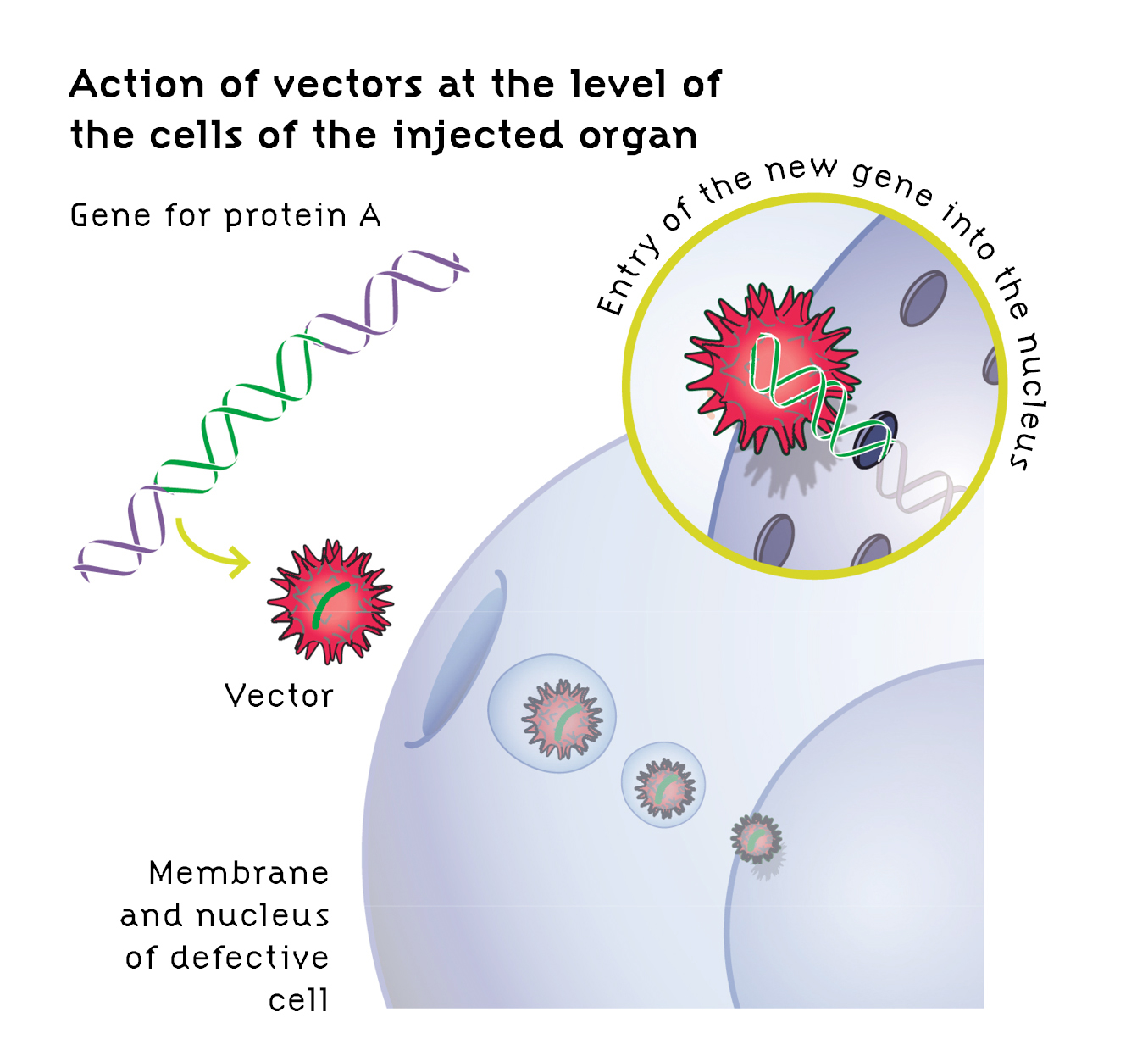 Vector gene therapy